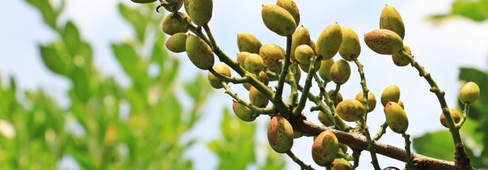 This Is What You Need to Know about Why Agriculture Experts Are Pushing for More Pistachio Orchards