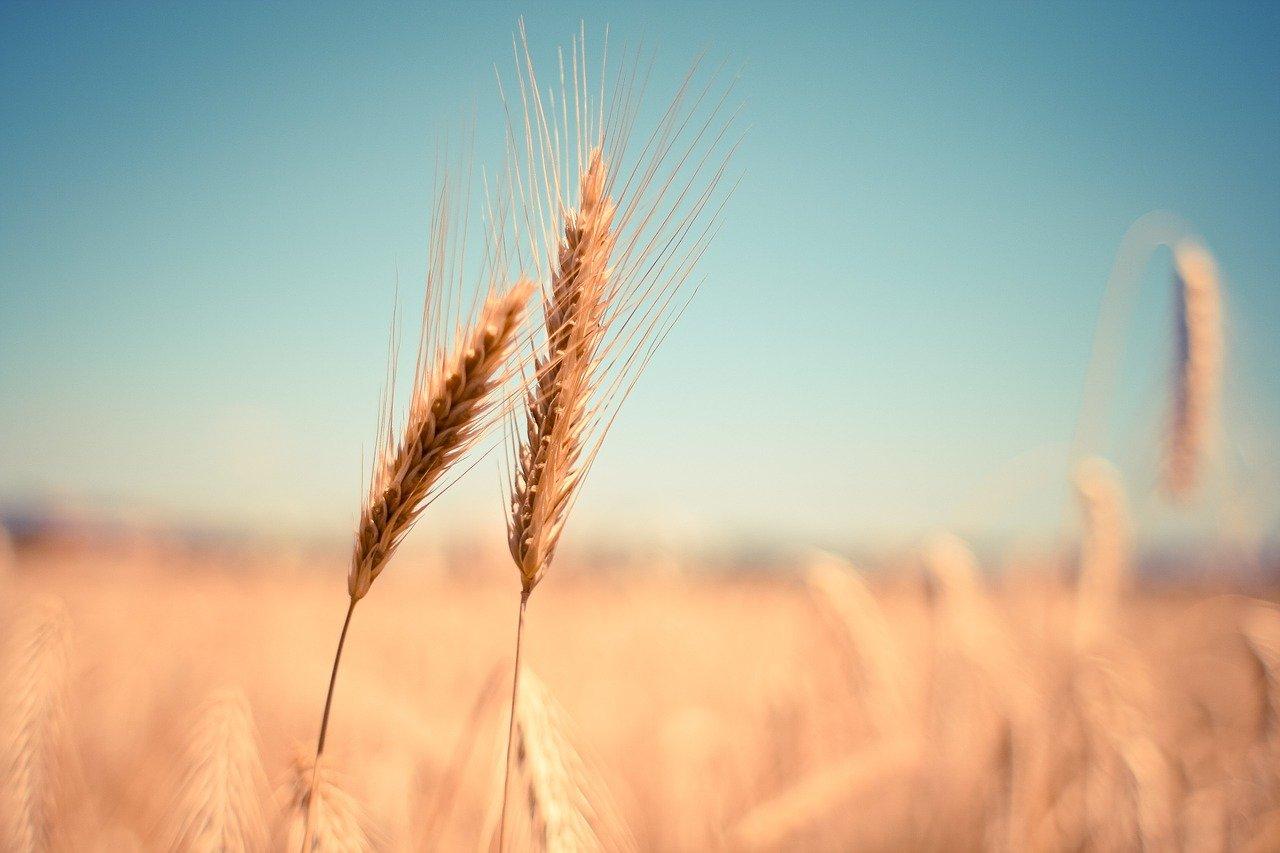 How Better Fertilizer Practices Can Improve Wheat Crops